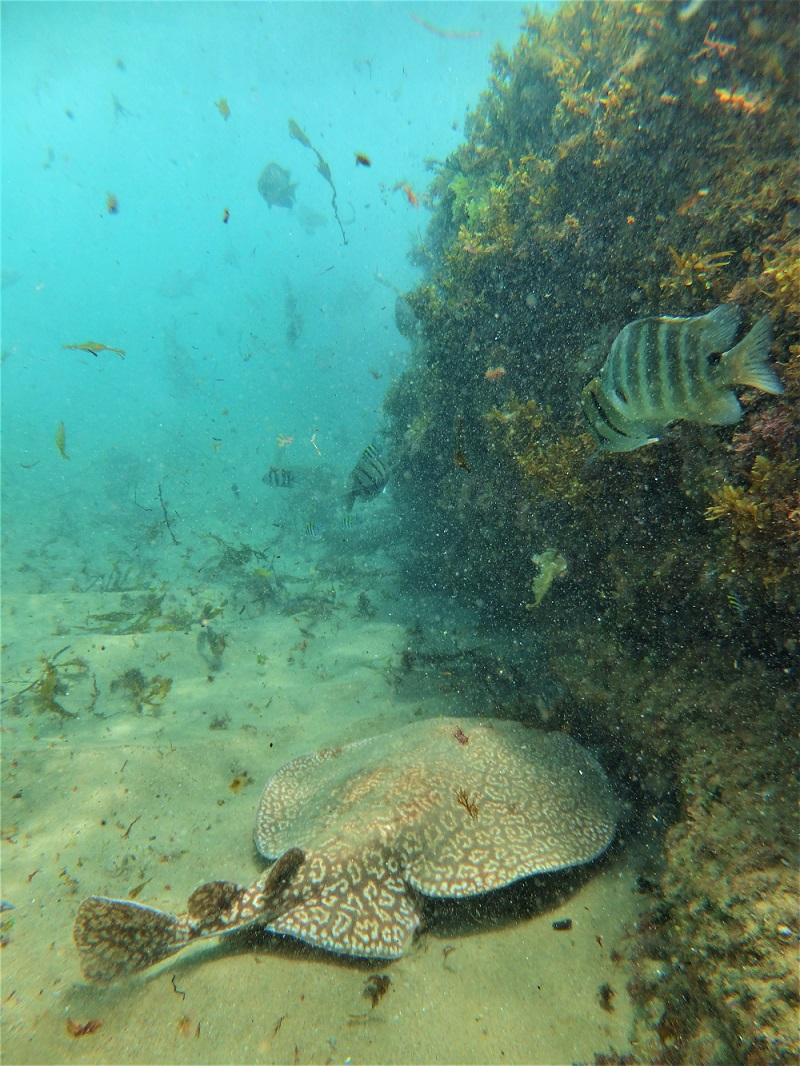 Cape Vidal Snorkeling - Marbled Electric Ray
