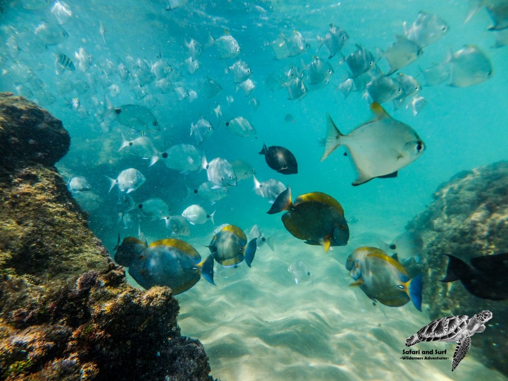Cape Vidal, iSimangaliso Wetland Park offer some of the best snorkeling in South Africa.. Be sure to book a Snorkeling Adventure with Safari And Surf during your stay in St Lucia South Africa